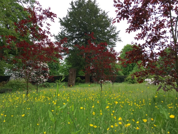 Bright, burgundy Prunus and sunny, yellow buttercups
