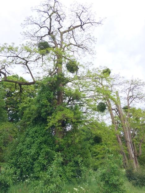 Mistletoe hanging like baubles