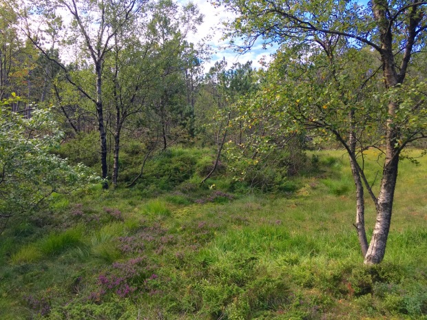 Birches and heathers growing in the wild; so perfect