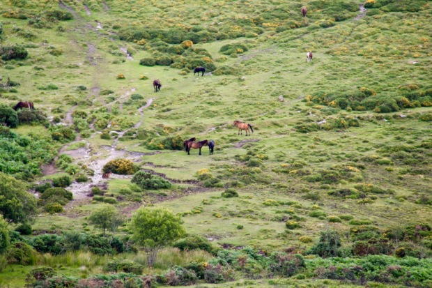 Hoof-prints found on Dartmoor show domesticated ponies were here around 3,500 years ago; they appear to be wild but are actually owned by farmers exercising their right to use the 'commons'