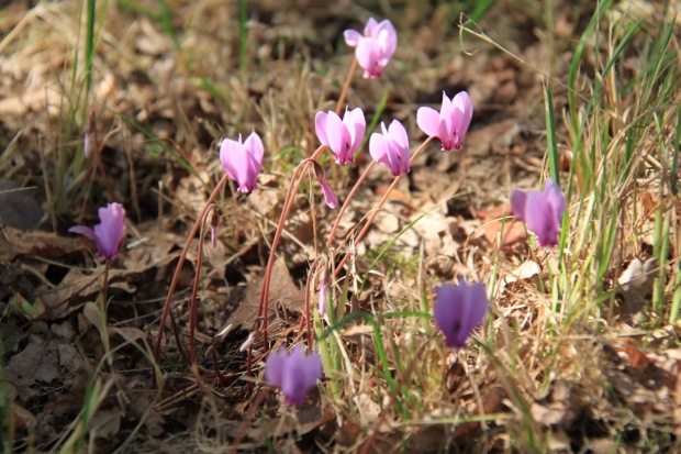 Delicate Cyclamen growing in bare wasteland at Beth Chatto's garden