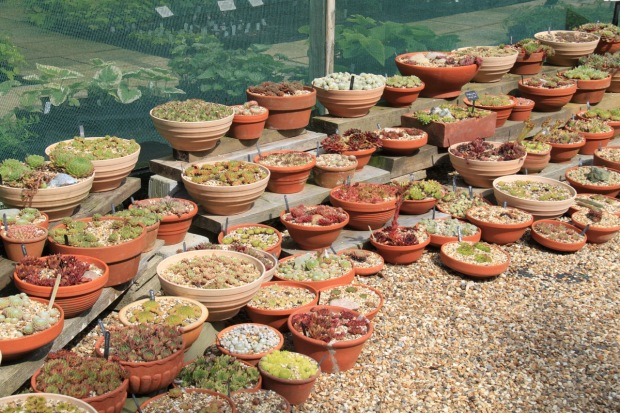Succulents at Beth Chatto's garden