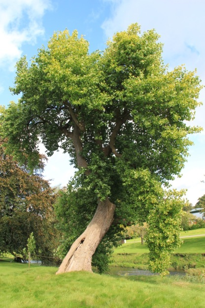 An old tree on the banks of the River Trent gives a feel on longevity to the recent restoration, which began in 2003