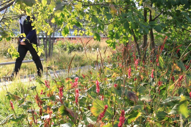 Persicaria adding an element of colour on the High Line