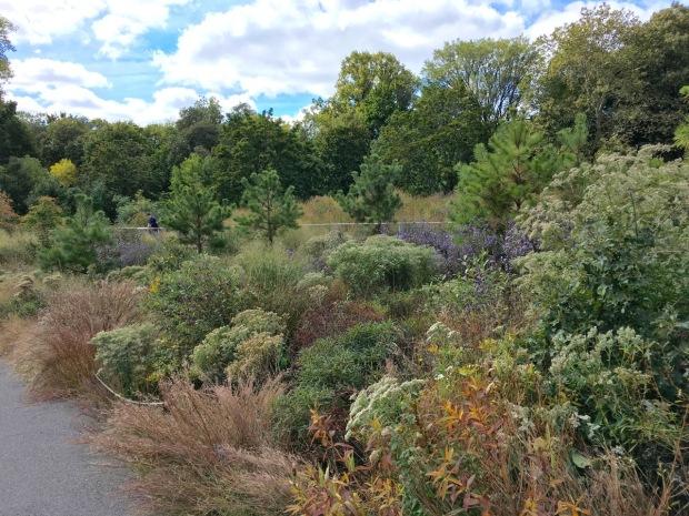 Pinus rigida at Brooklyn Botanic Garden, New York