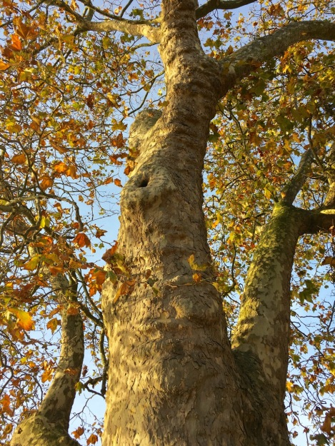 Stately London plane tree