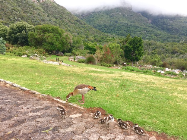 A family of Egyptian geese at Kirstenbosch