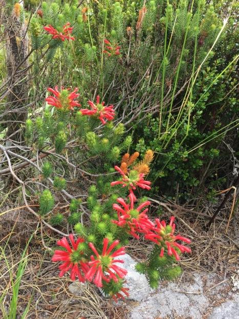 I adored the colour of this Erica (E. cerinthoides?)