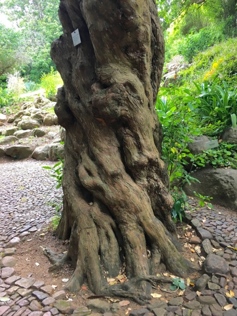 Yellowwood at Kirstenbosch