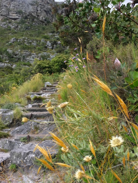 Soft colours of drought tolerant plants line the climb up Table Mountain