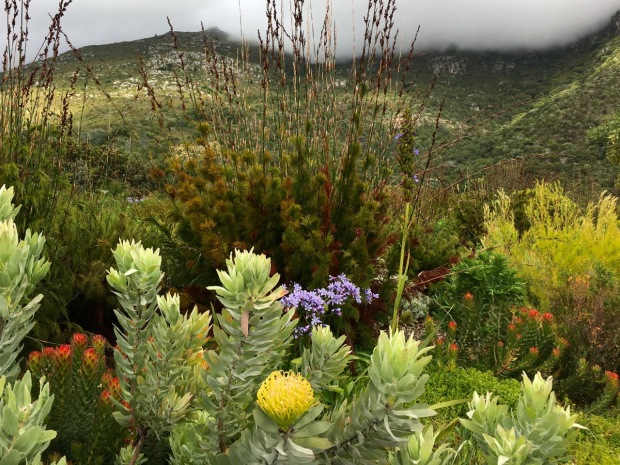 Stately restios form a strong backdrop to a mix of indigenous South African flowering plants at Kirstenbosch