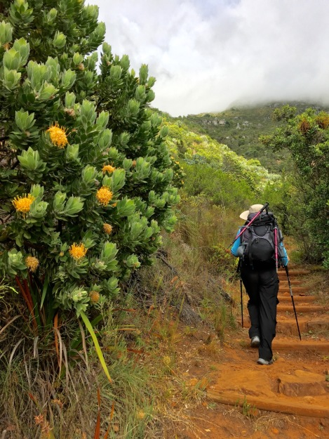 Tall and healthy Leucospermum shrubs at Kirstenbosch