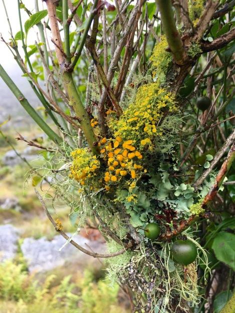 The lichen in this tree fuschia was magnificent!