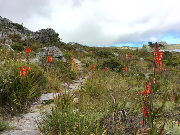 Watsonia tabularis (Table Mountain bugle lily) certainly made itself at home on the top of Table Mountain