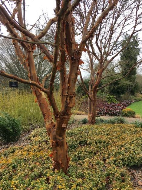 Acer griseum peeling bark at Hiller Gardens