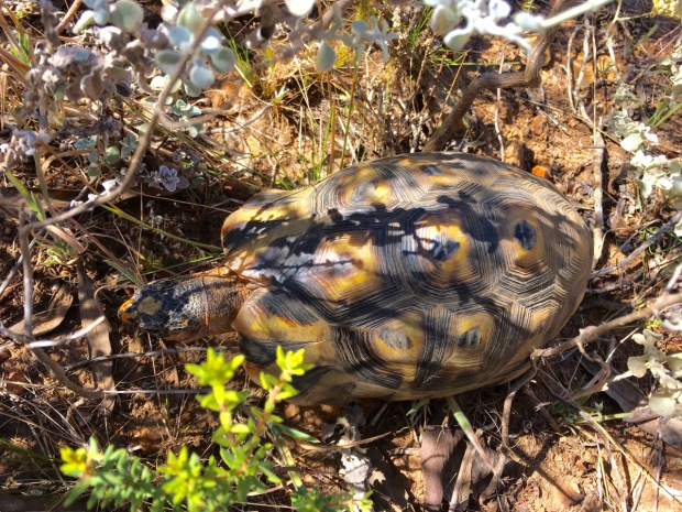 Angulate tortoise in the Western Cape
