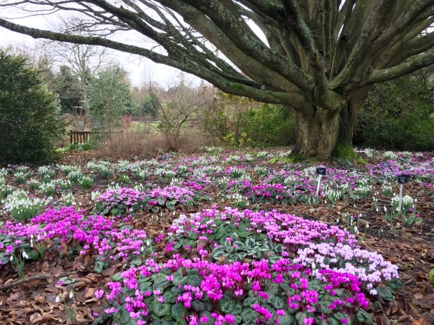 Cyclamen coum and snowdrops are the perfect carpet beneath a deciduous tree