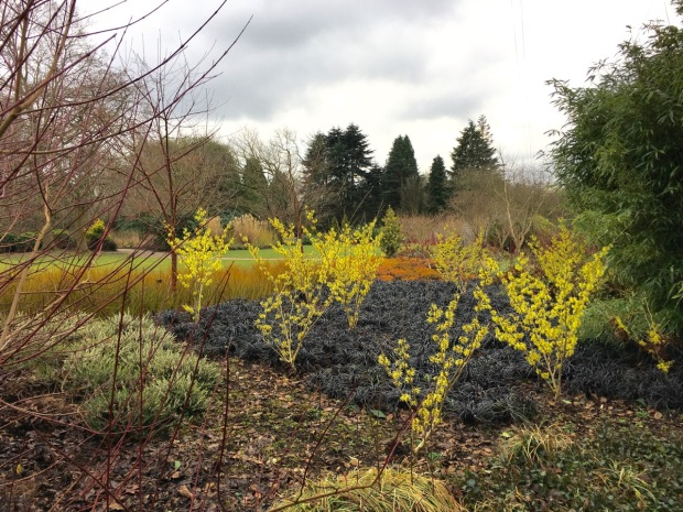 Hamamelis x intermedia 'Sunburst' add height and colour to black mondo grass (Ophiopogon planiscapus 'Nigrescens')