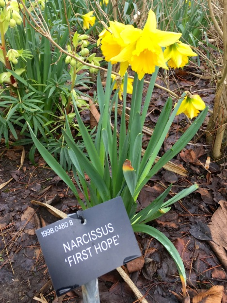 Narcissus 'First Hope' at Hillier Gardens