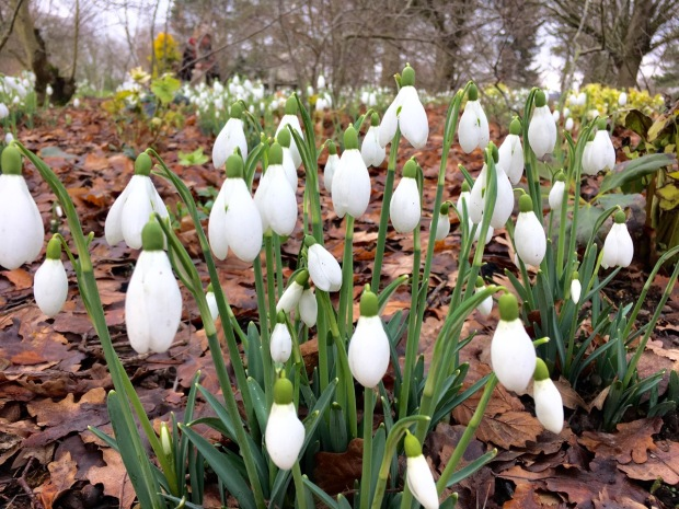 Snowdrops at the Sir Harold Hillier Gardens
