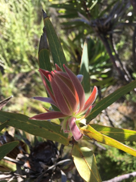 Soft, red, downy new growth makes you want to reach out and touch this Leucadendron