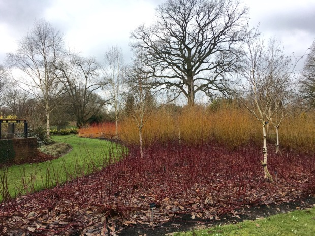 White birch trunks and assorted Cornus stems bring high impact in the Hillier Winter Garden