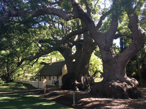 Incredible camphor trees, said to be at least 300 years old at Vergelegen