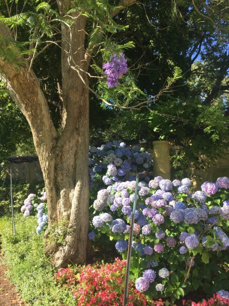 Not my favourite part of the garden but the Jacaranda, Hydrangea and Begonia combination really took me back...it could not have been more Sydney if it tried!