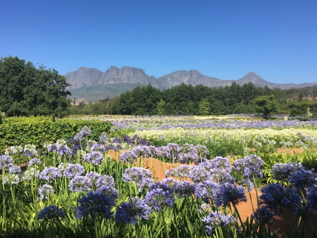 The aggies at Vergelegen Wine Estate gardens, Somerset West