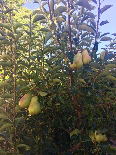 The most perfect looking pears at Vergelegen