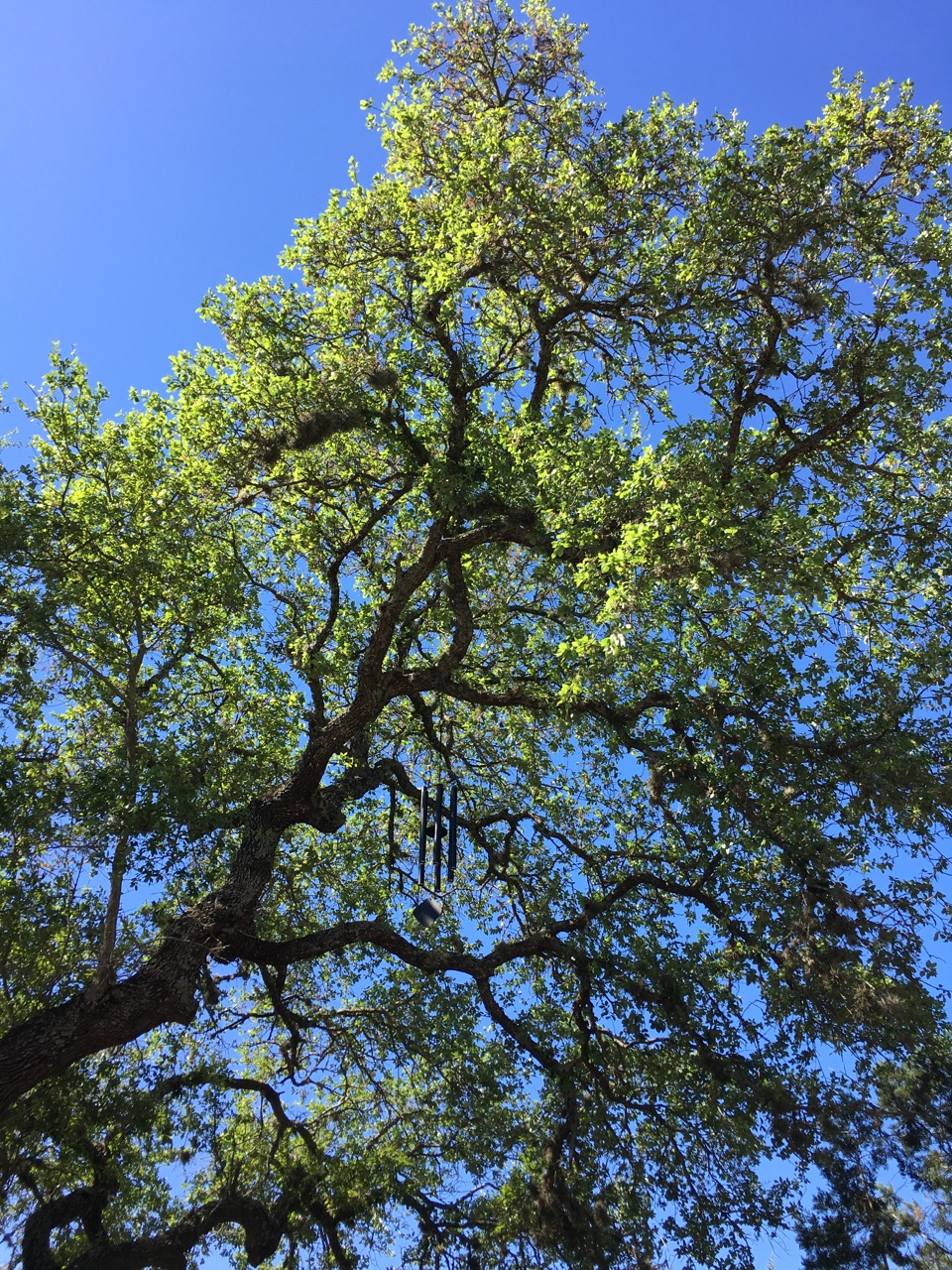 Wind Climes In Old Twisting Trees Draw Your Attention Up To The Sky